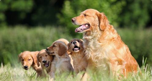 Golden Retriever Mom and Puppies