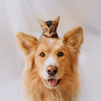 headshot of large long haired light brown dog against a white background looking at the camera with a small kitten perched on its head