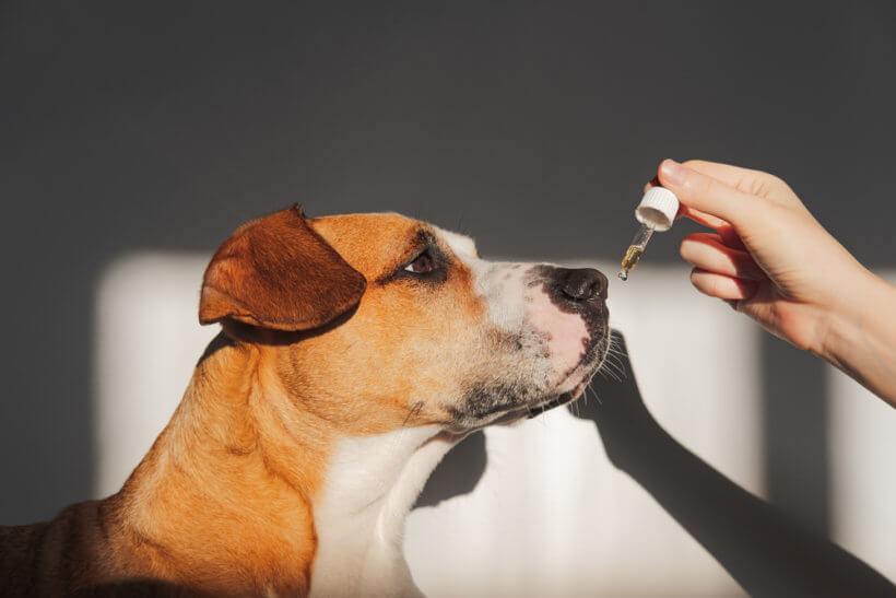 large short haired dog looking at dropper with cbd oil as owner holds it in front of its mouth